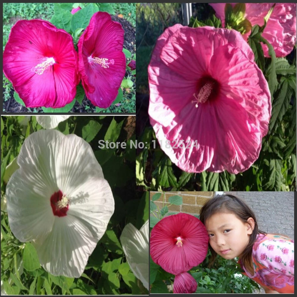 100pcs Giant Hibiscus Flower Seeds Dinner Plate Hard For Sale