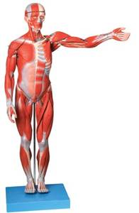Muscle-Model Simulation Human The 170CM of