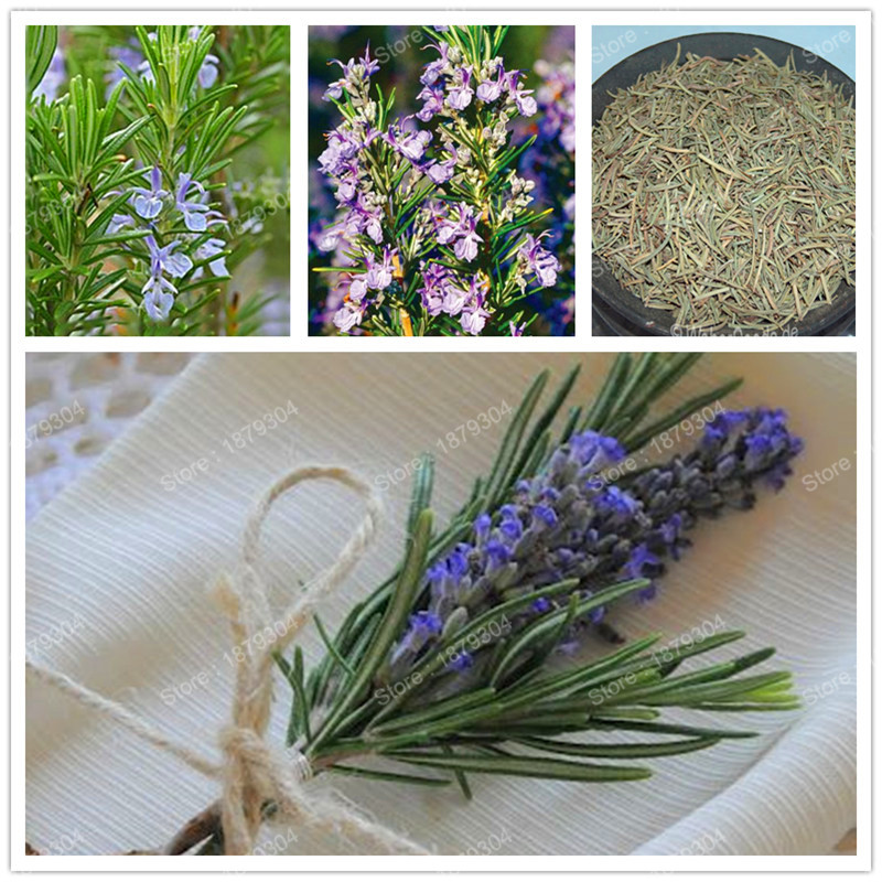 hot sale Rosemary medical herb Seeds healthy vegetable seeds bonsai Flower Seeds edible grass vanilla garden plant 300pcs/bag
