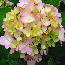 Sale!free shipping 100 White Hydrangea Flower seeds,rare color ,lasting,gorgeous balcony or yard flower plant