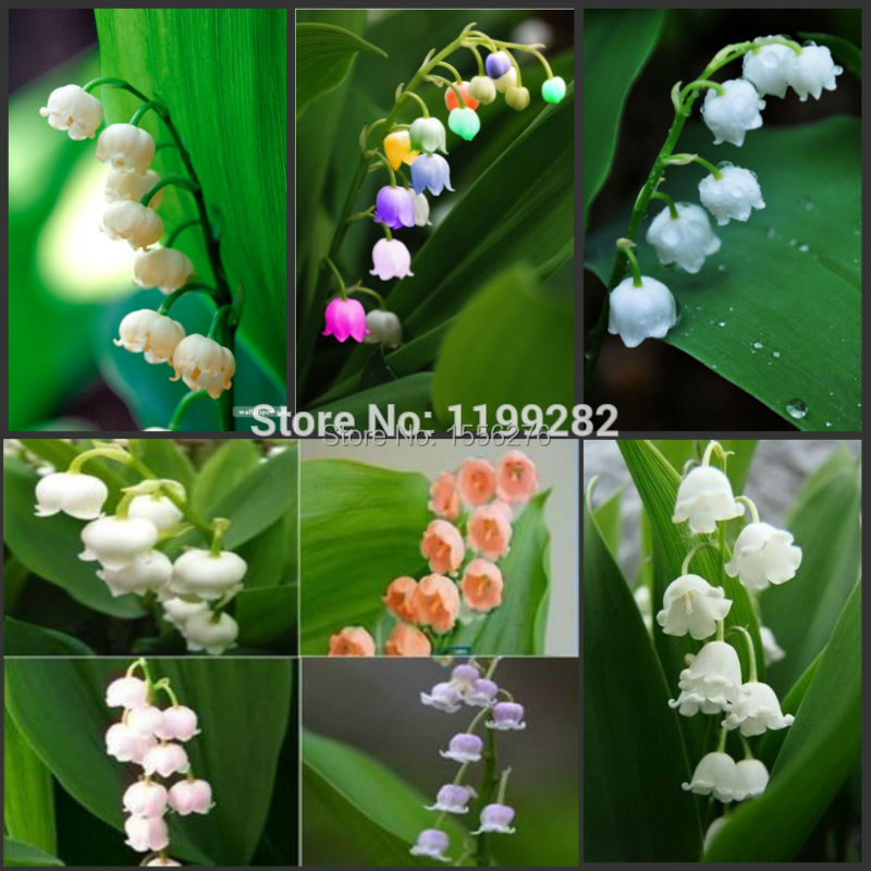 aliexpress  buy  seeds  genuine colorful convallaria, Beautiful flower