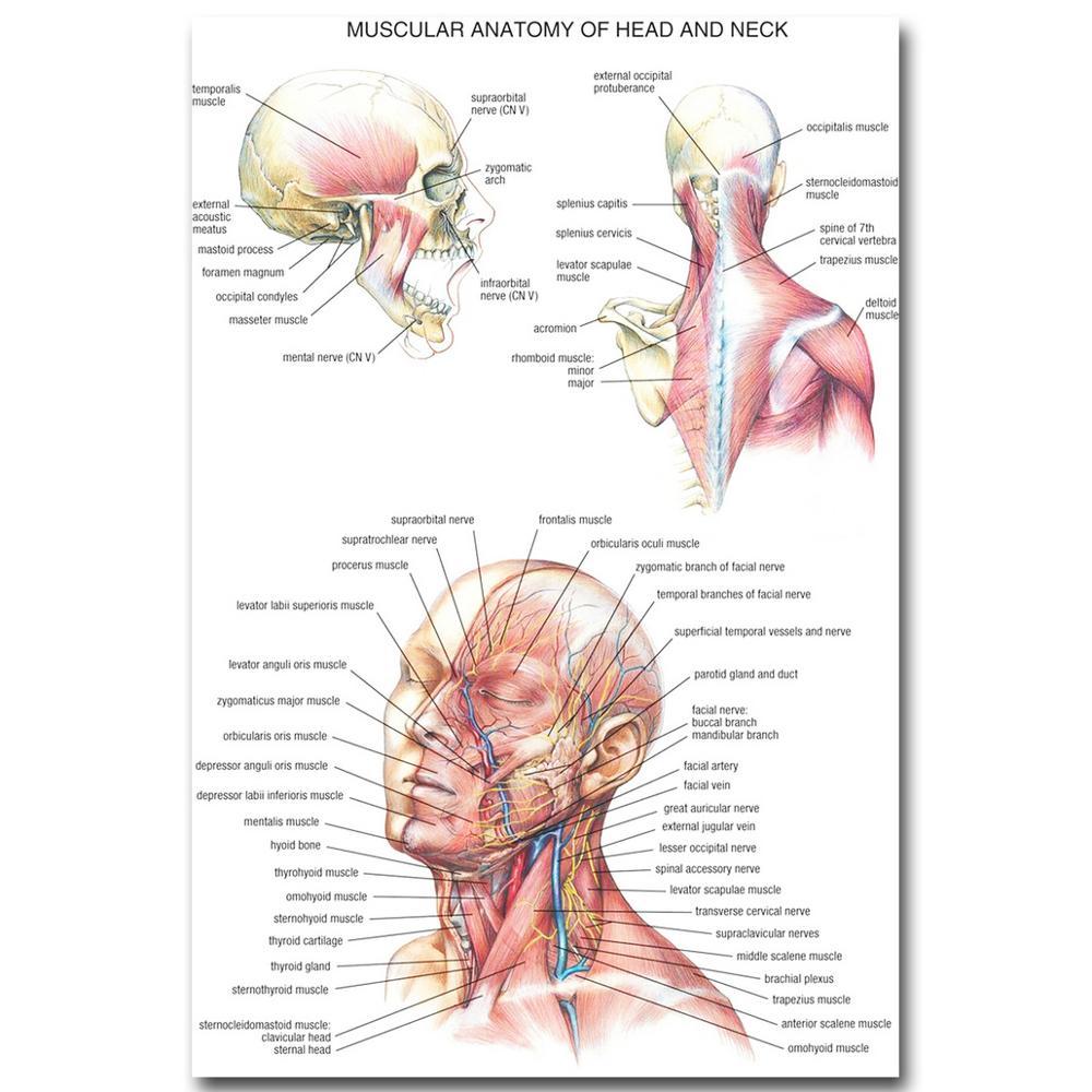 Menschlichen Anatomie Kopf und Hals Art Silk Tuch Plakat druck 20x30 ...