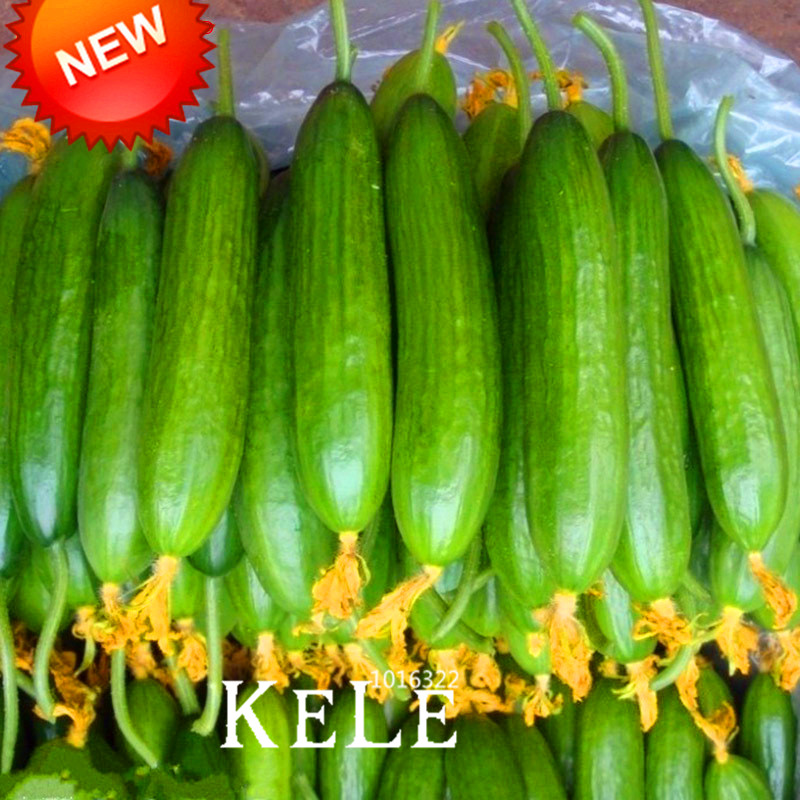 New Fresco Sementes de Pepino Holandeses, Sementes de Pepino Sementes de Frutas e Vegetais 50 Sementes/Saco, # KMT67V