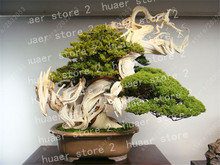 100 pcs/Juniper Bonsai ,Tree Potted Flowers Office Bonsai Purify The Air Absorb Harmful Gases