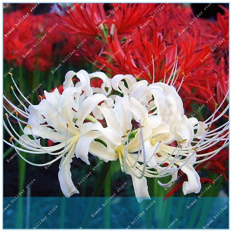 Garden Pots & Planters Bonsai Zlking 100pcs Bana Cheap Perfume Lycoris Radiata Mixied Colors Cleaning The Oral Cavity.