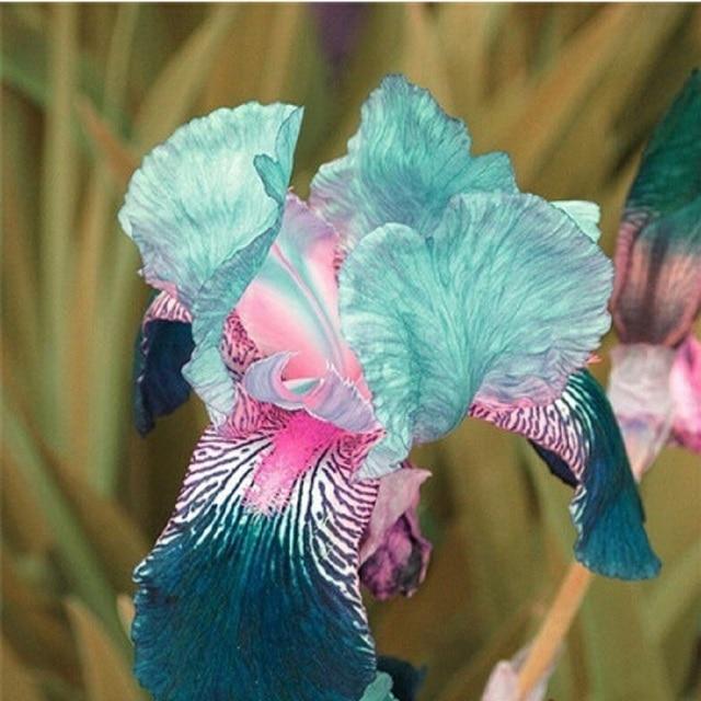 Sale! , hot selling ,40 pink Iris Seeds, popular perennial garden flower ,gorgeous cut flower