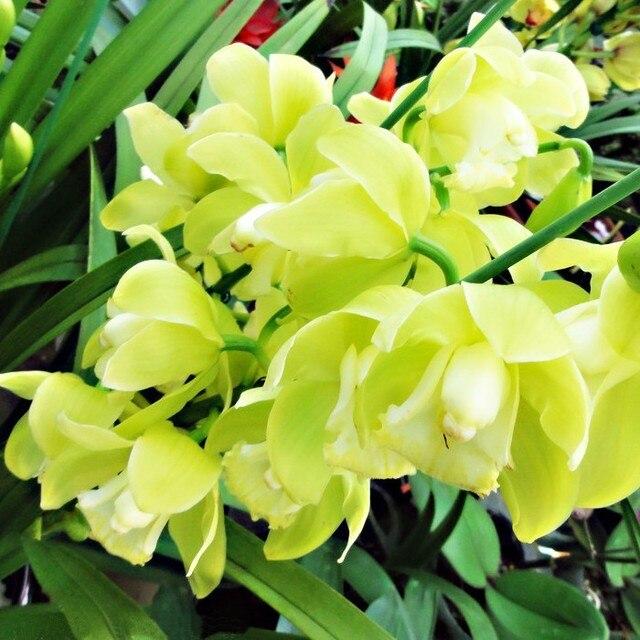 Unico puro verde cymbidium semi di orchidea fiore elegante for Semi orchidea