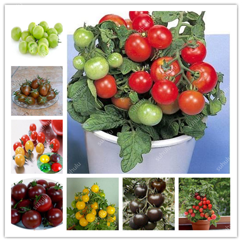 Hot Sale! 50 Pcs Rare Mini Cherry Tomato Plant, Balcony Sweet Fruits Vegetables Potted Bonsai, Home Garden Succulent Seedsplants