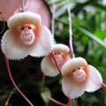 100pcs 5 kinds Cute Monkey Face Orchid Seeds Monkey Orchid Bonsai plants Flowers Seeds for home & garden Free Shipping