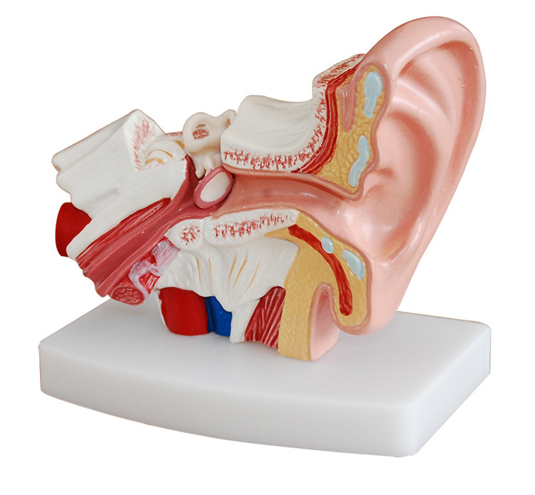 Human Ear Anatomy Model 1.5 times  Magnification Middle Ear Model Showing Organs structure of the Central and External Ears listening teaching model ear anatomical model anatomy model auricle human ear external ear middle ear inner gasen ebh007