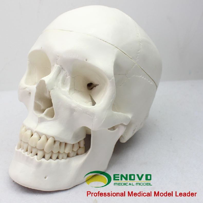 Medical Human Skull Brain Model Skull Model 1 1 Brain Model Anatomy