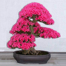 10pcs rare japanese sakura seeds cherry blossom seeds Bonsai plants for home & garden