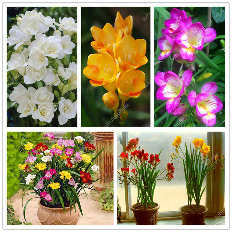 100 Pcs Color Mixing Freesia plants True Rare Orchid So Beautiful Indoor Bonsai Flower Plant Potted Fresh plant Root Kid Gift