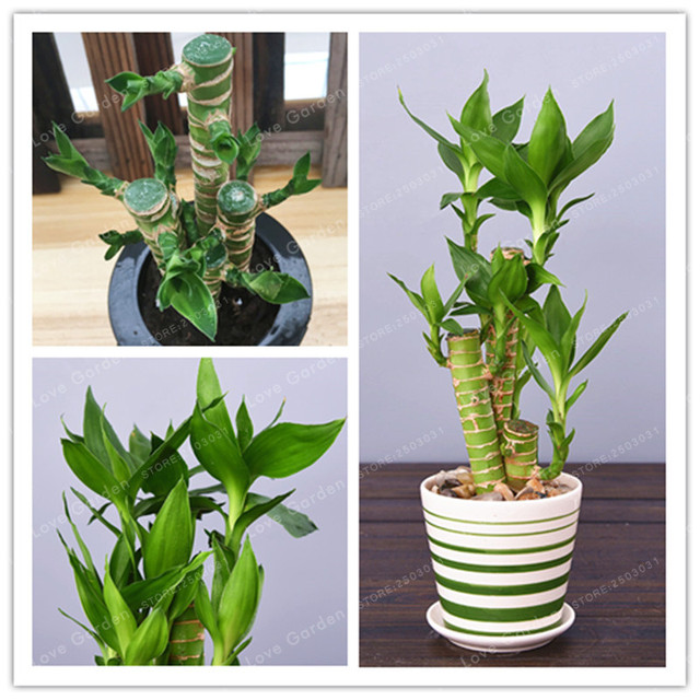 50 Pcs Pack Lotus Bamboo Bonsai Potted Balcony Lucky Plants Beautiful For Diy