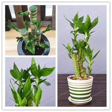 50 PCS/Pack Lotus Bamboo Bonsai Potted Balcony Lucky Bamboo Plants Beautiful Bonsai For DIY Home Garden Household Potted plant(China)