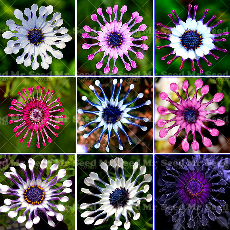 30pcs Osteospermum seeds,daisy seeds,osteospermum flowers,bonsai flower seeds,Nature potted plant for home garden Exotic style