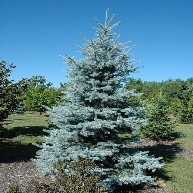 tree seeds home garden plant evergreen black pine colorado blue spruce picea pungens glauca tree courtyard. beautiful ideas. Home Design Ideas