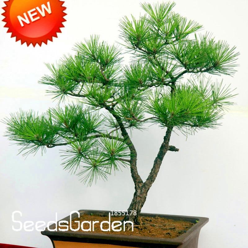 Japanese Mini Ornamental Pine Plants Osaka Bonsai 50 PCS Seeds Pine Tree Garden