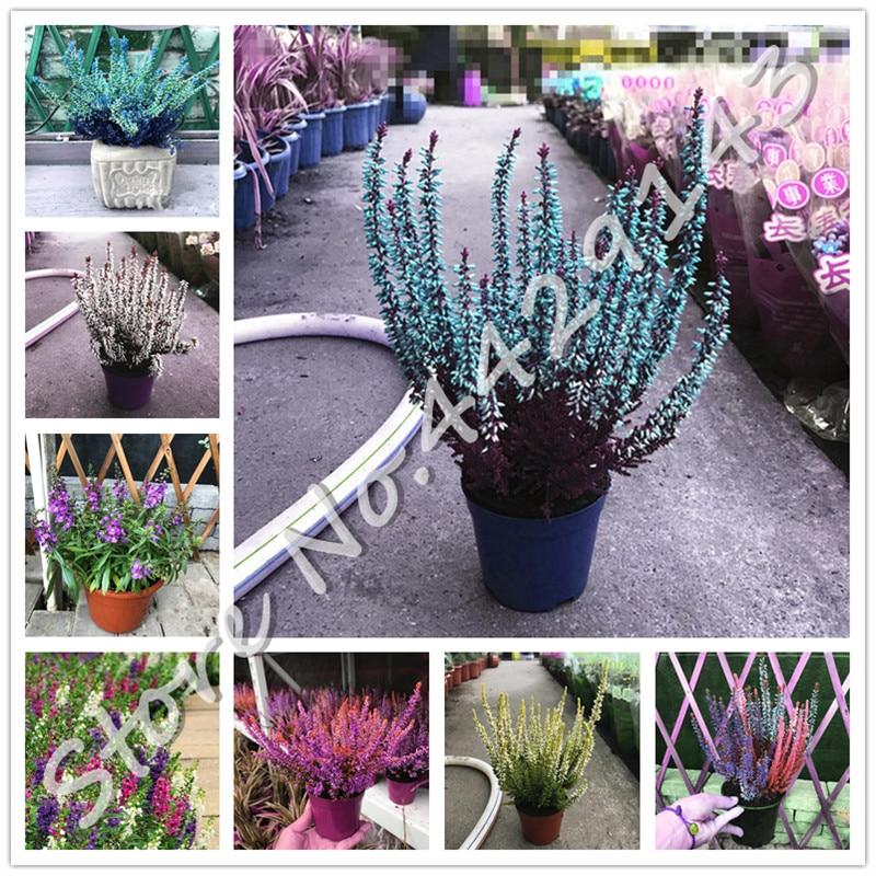Multi-Color Gypsophila Paniculata Bonsai Gypsophila Flowers 100 Pcs Seeds Garden