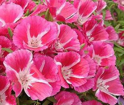 2016New редкие GODETIA прощание весна Clarkia Amoena - 200 цветочных семян бесплатная доставка