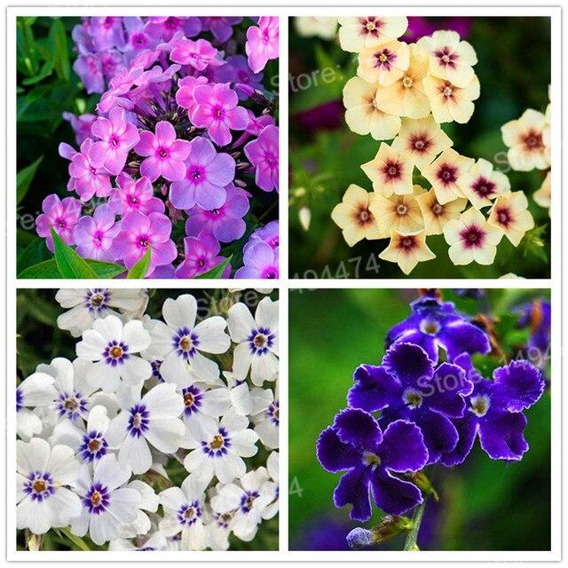 Hot Sale 200pcs Mixed Color Phlox Plant Phlox Drummondii Cuspidata