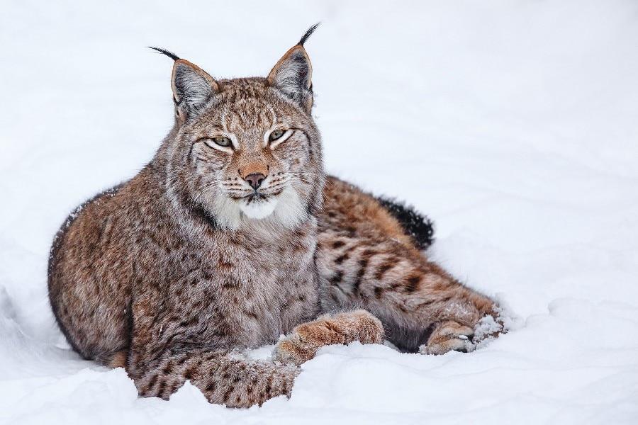 Bricolage Cadre Lynx Couché Dans La Neige Animal Affiche