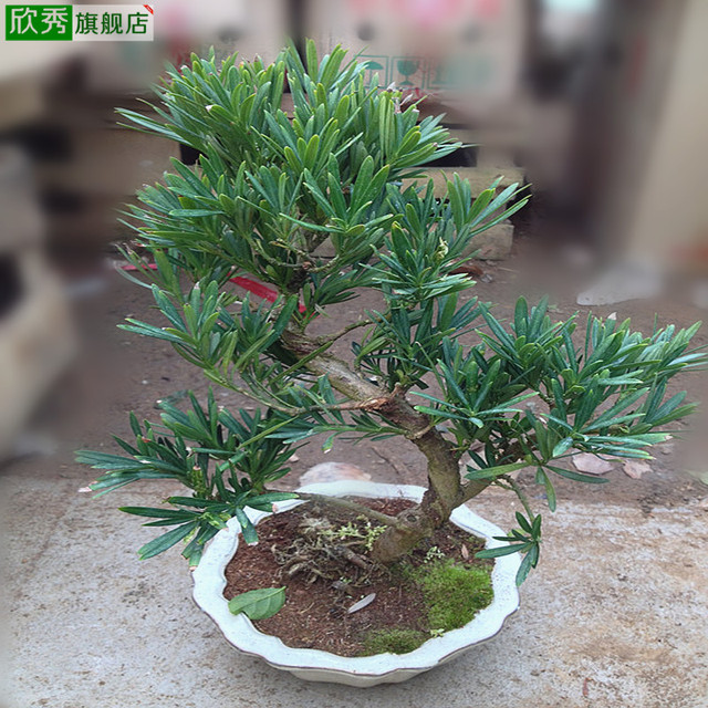 small office plant. Yan Xiu Podocarpus Bonsai Plant Flowers In Addition To Formaldehyde Small Office Desktop Potted Plants I
