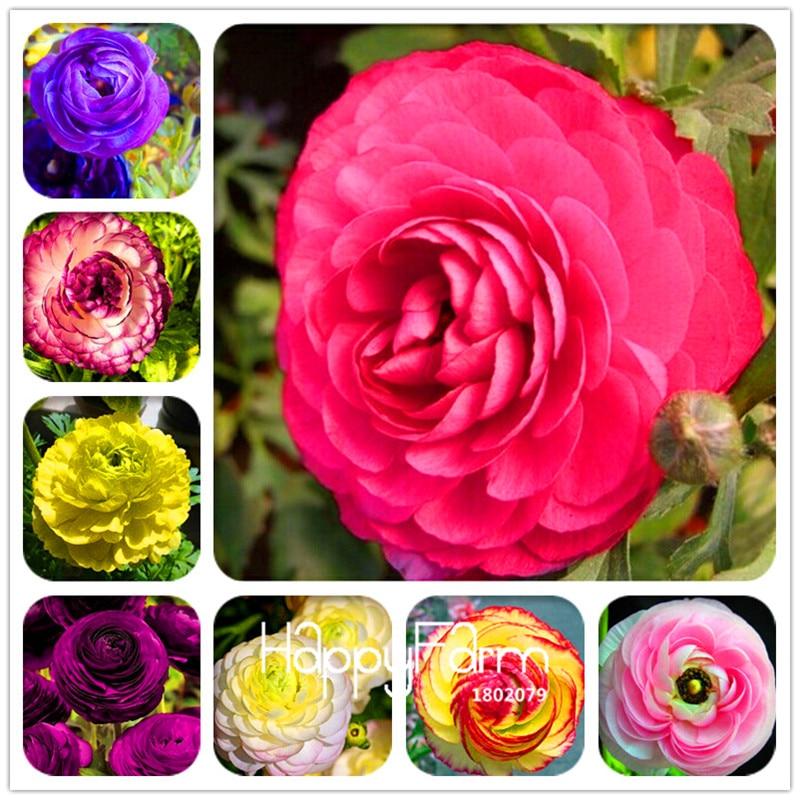 Sale! 50 Seeds A Pack Bonsai flower seed Ranunculus asi