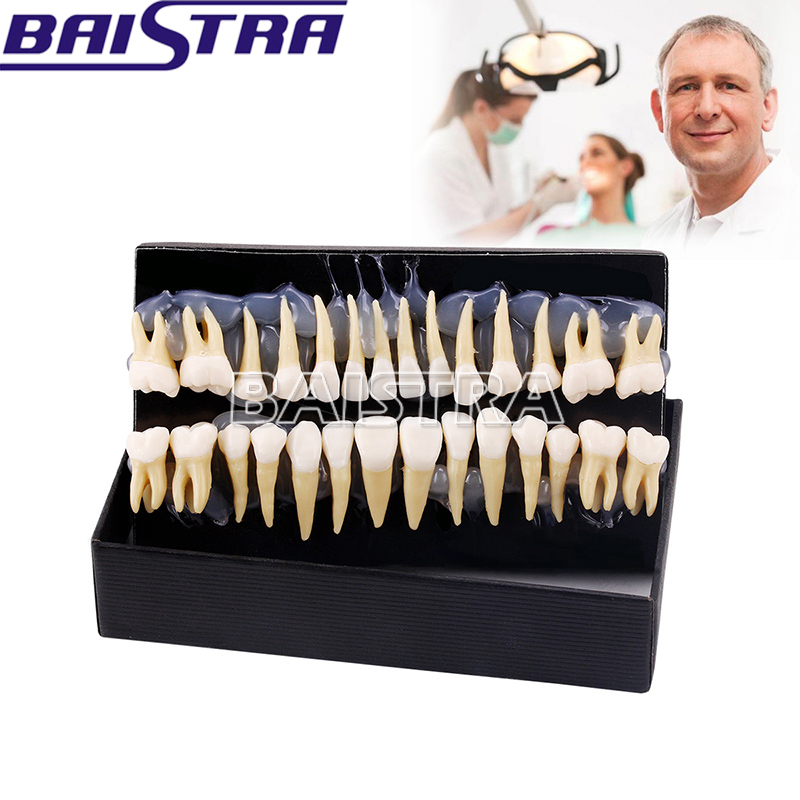 28pcs/pack Resin Denture Dental Teeth Oral Care Whitening Tooth Model Dentist Materials dentist gift resin crafts toys dental artware teeth handicraft dental clinic decoration furnishing articles creative sculpture
