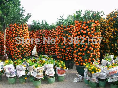 20pcs/bag, Balcony Patio Potted Fruit Trees Planted Seeds, Kumquat Seeds,  Orange Seeds, Tangerine, Citrus, In Bonsai From Home U0026 Garden On  Aliexpress.com ...