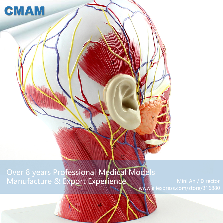 12402 CMAM-BRAIN05 Right Half Human Head Neck Anatomy Model, Medical Science Educational Teaching Anatomical Models cmam spine11 human vertebral column w half femur highly detailed model medical science educational teaching anatomical models