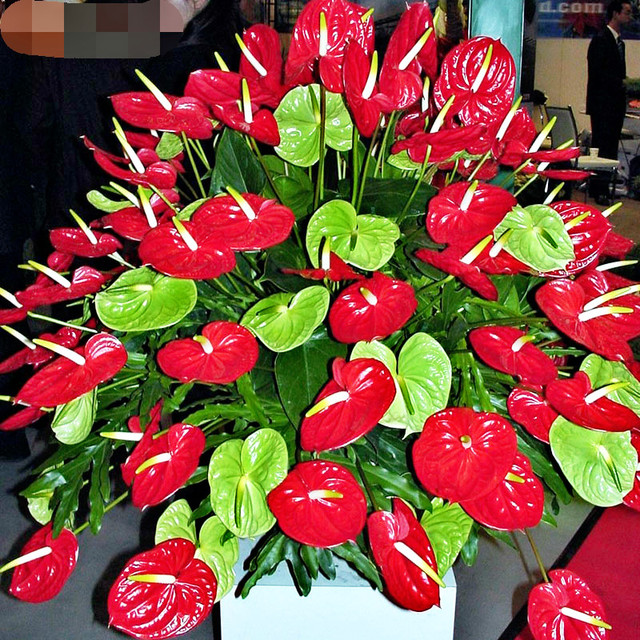 On Sale! 50Pcs Red Anthurium Seeds Home Garden Plants Beautify
