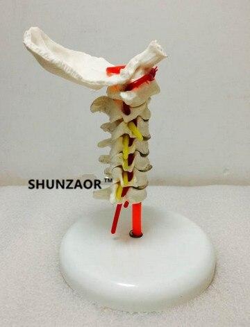 Tamanho da vida modelo anatômico humano coluna vertebral cervical da vértebra com artéria do pescoço modelo médico do disco do osso occipital
