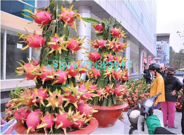 200 Dragon Fruit Pitaya Fruit Biologische Heirloom Fruit En