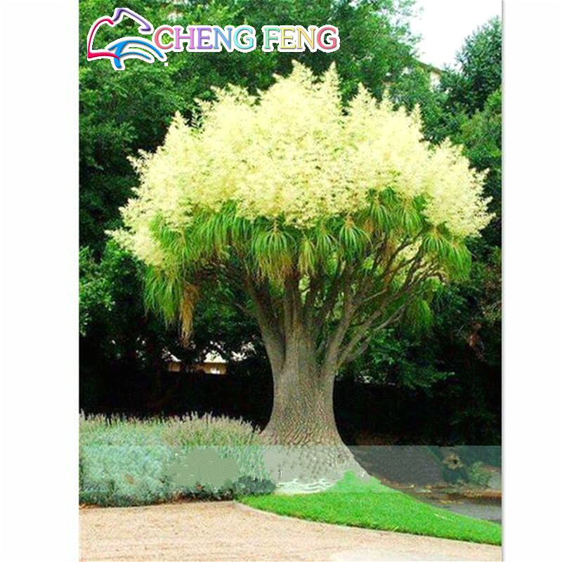 20pcs Golden Mimosa Seeds Rare Beautiful Acacia Yellow Wattle Tree Plants Home Garden Flower Seeds Noble Bonsai Gift Seed