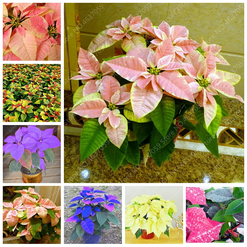 Bag Colorful Poinsettia Flower Plant