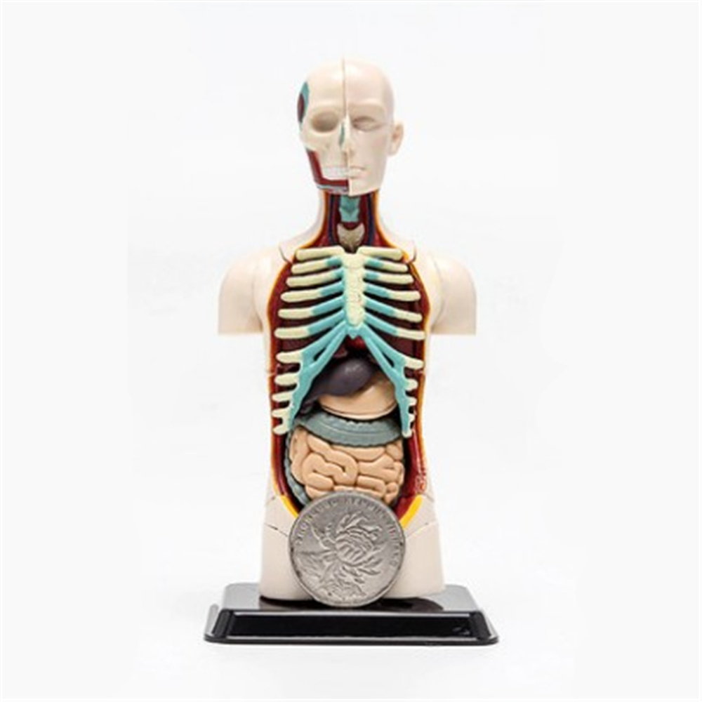 3D Mine Child Science Toy Human Anatomy model Human torso Assembly Model  Visceral Anatomical Model-in Educational Equipment from Office & School  Supplies on ...