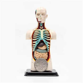 3D Mine Child Science Toy Human Anatomy model Human torso Assembly Model Visceral Anatomical Model