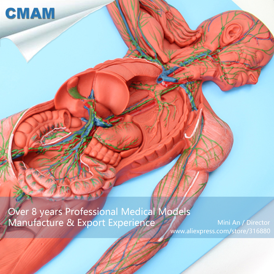 12489 CMAM-HEART13 Anatomy Structure Of The Lymphatic System,  Medical Science Educational Teaching Anatomical Models 12400 cmam brain03 human half head cranial and autonomic nerves anatomy medical science educational teaching anatomical models