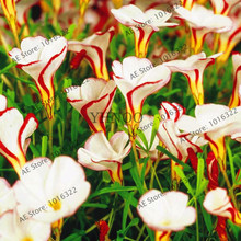 Rare Oxalis versicolor flower Seeds,100 Seeds / Pack, World's Rare Flowers,Bonsai Plant For Home Garden