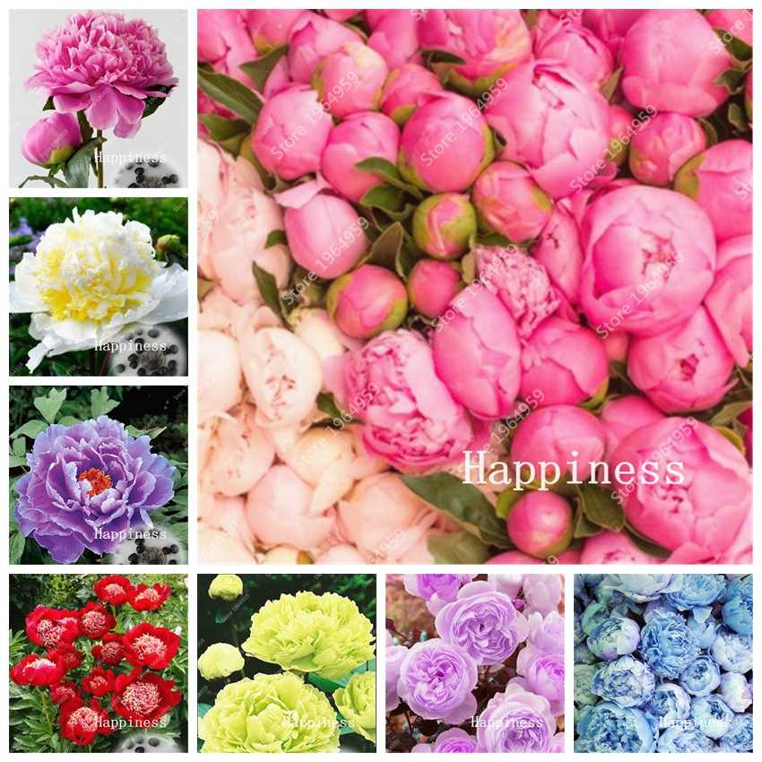 Hot 20 Pcs Bonsai Rare Chinese Peony Planting Bright Greenery Flowers Outdoor Terrace Courtyard Paeonia Flower For Garden Decor