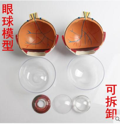 eye structure model teaching medicine demonstration biological equipment hand structure model primary and secondary schools teaching equipment medical model of biological puzzle assembled master teac