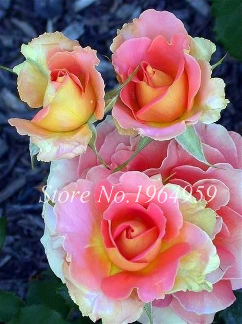 Bonsai Roses 100 Pcs Germany Rare Beautiful Rose With Flowering