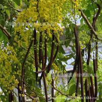 Authentic sausage tree plant tree plant Cassia fistula plant money pelting rain Laburnum plant gold 200g / Pack