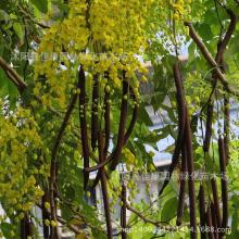 Authentic sausage tree plant tree plant Cassia fistula plant money pelting rain Laburnum plant gold 200g / Pack
