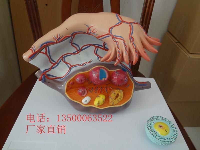 Anatomía uterina ovario folicular proceso de desarrollo envío libre ...