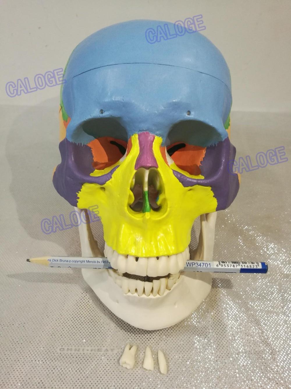 מבצעים מיוחדים הם על מכירה & 1:1 צבע ראש דגם, הטבעי גולגולת אנושית, ראש למבוגרים, את האנטומיה של רפואי.