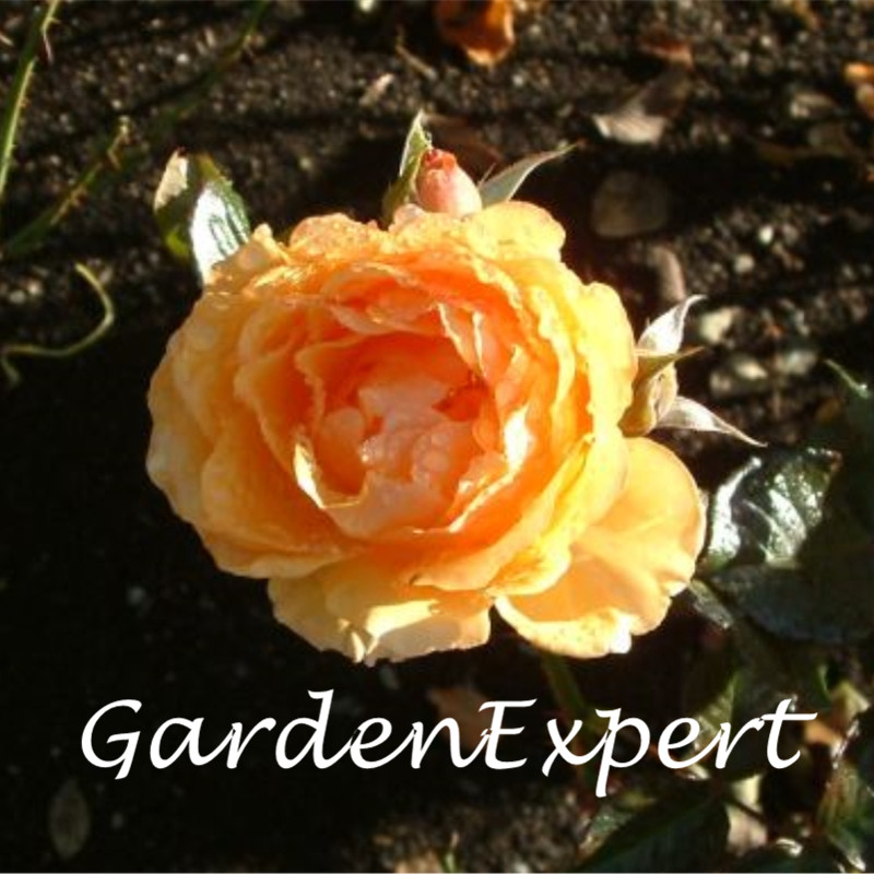 200 шт. Amber Queen роза Семена Редкие семена розы Карликовые деревья Семена многолетних балкон растение в горшке цветок Главная Сад