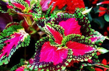 100pcs 12 different Coleus Seeds Charming Chinese Vegetable Seeds Bonsai Plants for Garden Wholesale Price Free Shippin
