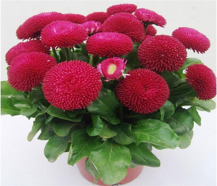 Flower seeds, Bellis perennis seed, chrysanthemum seeds – 100 Seed particles